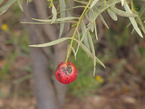 Wild peach fruit (quandong)