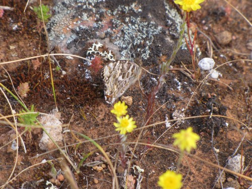Butterfly or moth? (hard to see - it is right in the middle of the photo just above the two flowers)