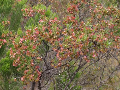 Mallee Hop-bush (Dodonaea subglandifulera