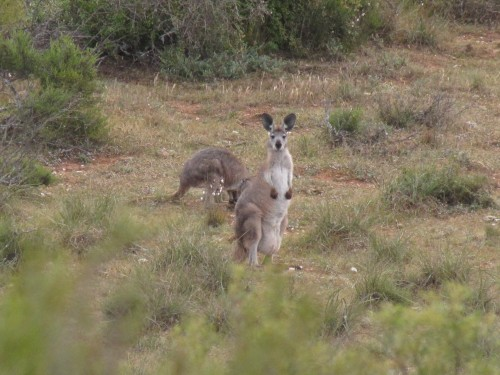 Western Grey Kangaroo - with a joey in the pouch?