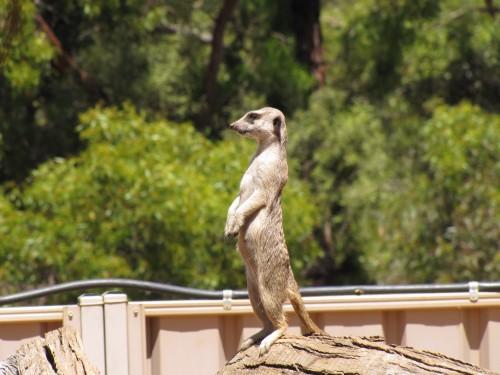 Meerkat on guard at Monarto Zoo