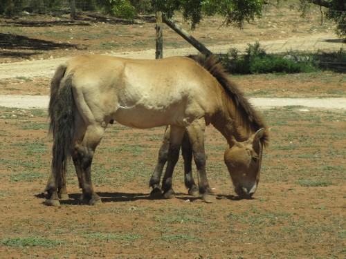Przewalski's Horse, Monarto Zoo, South Australia