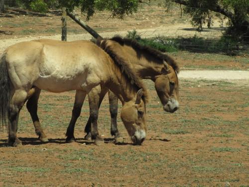Przewalski's Horse, Monarto Zoo