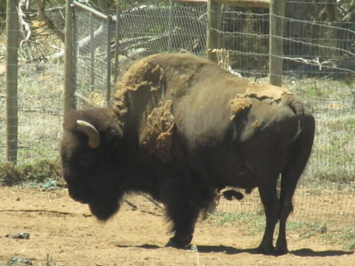 American Bison at Monarto Zoo, South Australia
