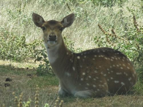 Chital deer Monarto Zoo