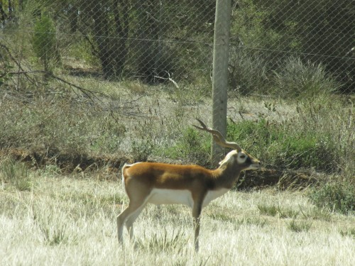 Black buck, Monarto Zoo