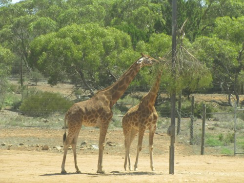 Monarto Zoo South Australia