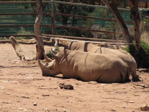 Rhinos, Monarto Zoo
