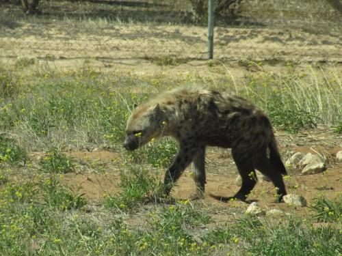 Spotted Hyena, Monarto Zoo