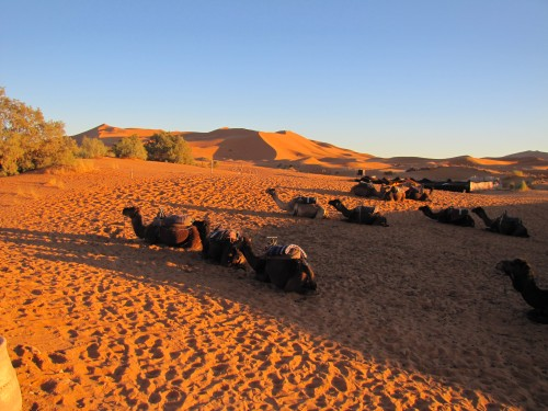 Camels waiting for us in the Sahara