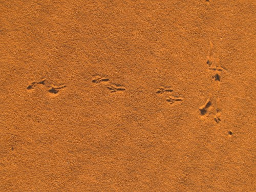 tracks of a bird (?) in the Sahara