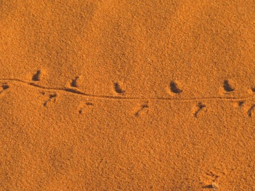 Reptile tracks in the Sahara