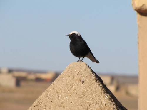 White-crowned Black Wheatear, Merzouga, Morocco