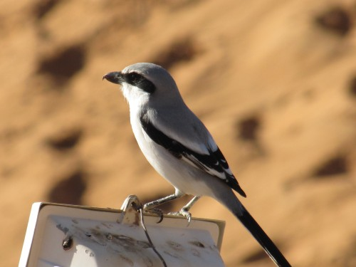 Southern Grey Shrike at Merzouga in Morocco