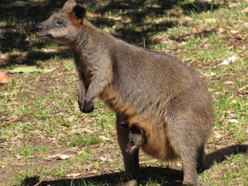 Swamp wallaby and joey in pouch Sydney