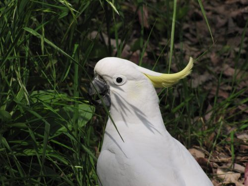 Sulphur-crested Cockatoo, Sydney