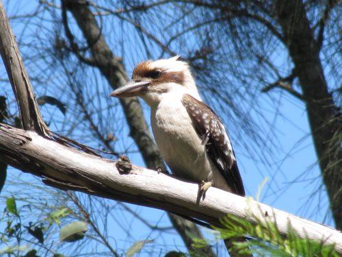 Laughing Kookaburra Sydney